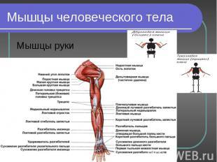 Мышцы руки Мышцы руки