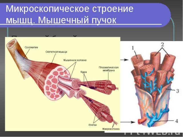Под какой буквой обозначены гладкая и поперечнополосатая мускулатура? А-; Б-. Под какой буквой обозначены гладкая и поперечнополосатая мускулатура? А-; Б-. Что обозначено цифрами 1-; 2-; 3-; 4-.