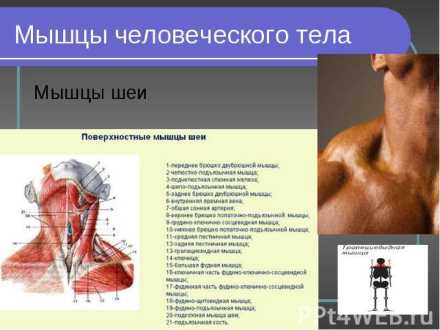 Мышцы шеи Мышцы шеи