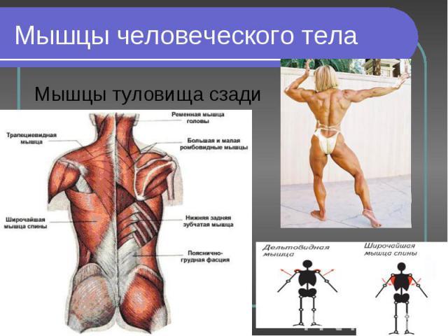 Мышцы туловища сзади Мышцы туловища сзади