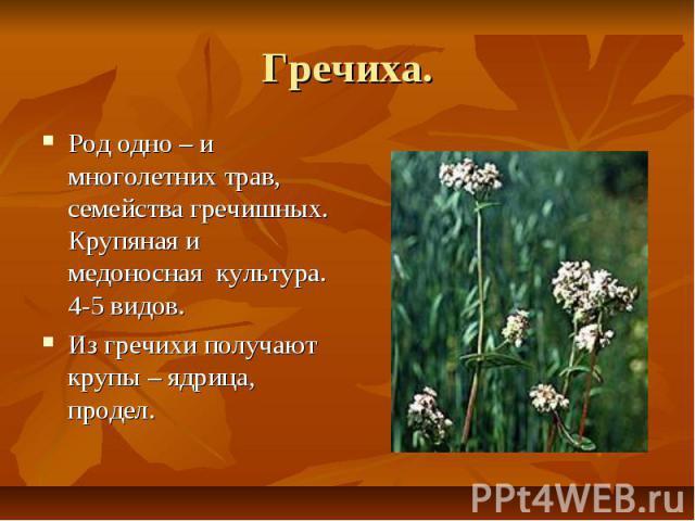 Гречиха. Род одно – и многолетних трав, семейства гречишных. Крупяная и медоносная культура. 4-5 видов. Из гречихи получают крупы – ядрица, продел.