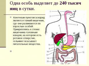 Конечным пунктом аскарид является тонкий кишечник, где они развиваются во взросл