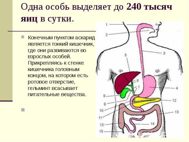 Конечным пунктом аскарид является тонкий кишечник, где они развиваются во взрослых особей. Прикрепляясь к стенке кишечника головным концом, на котором есть ротовое отверстие, гельминт всасывает питательные вещества. Конечным пунктом аскарид является…