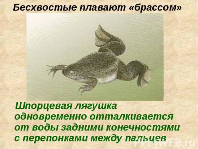 Шпорцевая лягушка одновременно отталкивается от воды задними конечностями с перепонками между пальцев Шпорцевая лягушка одновременно отталкивается от воды задними конечностями с перепонками между пальцев
