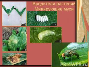 Вредители растений Минирующие мухи