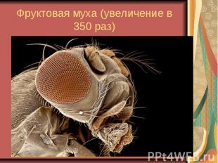 Фруктовая муха (увеличение в 350 раз)