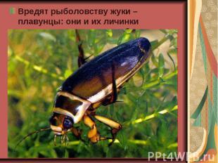 Вредят рыболовству жуки – плавунцы: они и их личинки нападают на мальков рыб. Вр