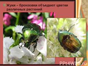 Жуки – бронзовки объедают цветки различных растений Жуки – бронзовки объедают цв