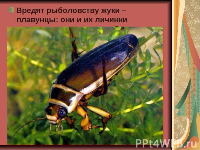 Вредят рыболовству жуки – плавунцы: они и их личинки нападают на мальков рыб. Вредят рыболовству жуки – плавунцы: они и их личинки нападают на мальков рыб.