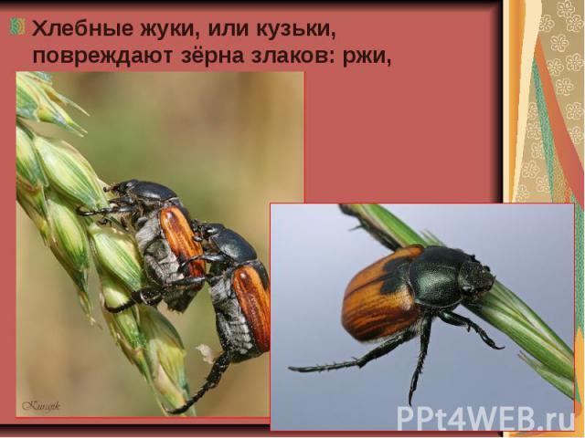 Хлебные жуки, или кузьки, повреждают зёрна злаков: ржи, ячменя, пшеницы. Хлебные жуки, или кузьки, повреждают зёрна злаков: ржи, ячменя, пшеницы.