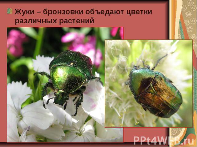 Жуки – бронзовки объедают цветки различных растений Жуки – бронзовки объедают цветки различных растений