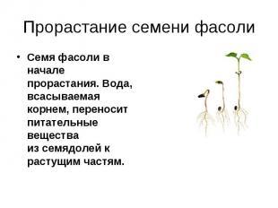Семя фасоли в начале прорастания. Вода, всасываемая корнем, переносит питательны