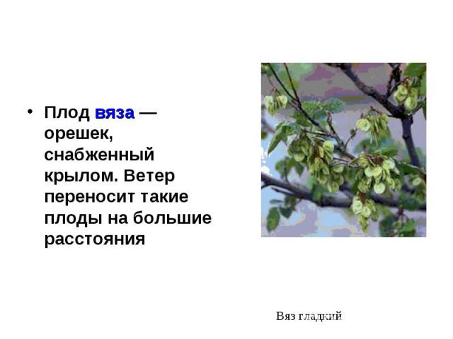 Плод вяза — орешек, снабженный крылом. Ветер переносит такие плоды на большие расстояния Плод вяза — орешек, снабженный крылом. Ветер переносит такие плоды на большие расстояния