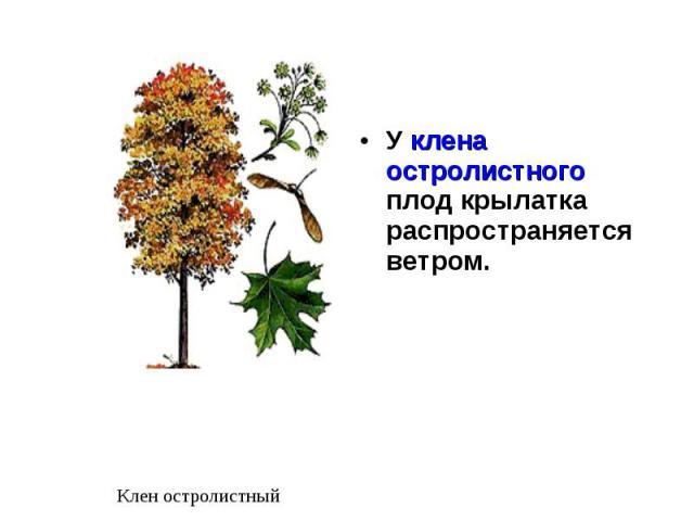 У клена остролистного плод крылатка распространяется ветром. У клена остролистного плод крылатка распространяется ветром.
