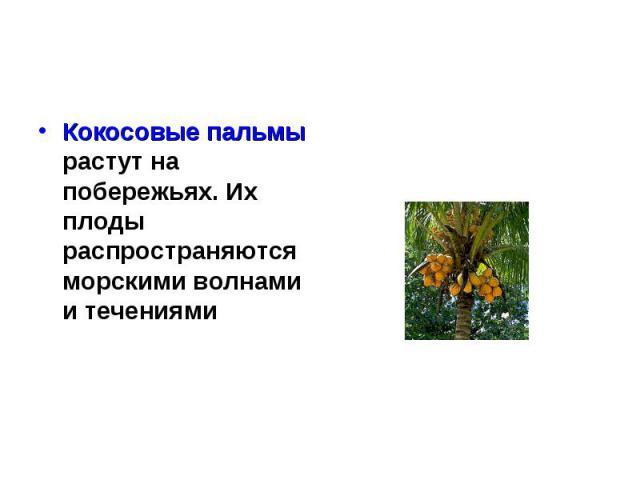 Кокосовые пальмы растут на побережьях. Их плоды распространяются морскими волнами и течениями Кокосовые пальмы растут на побережьях. Их плоды распространяются морскими волнами и течениями