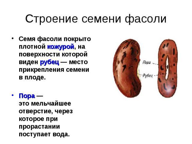 Семя фасоли покрыто плотной кожурой, на поверхности которой виден рубец — место прикрепления семени в плоде. Семя фасоли покрыто плотной кожурой, на поверхности которой виден рубец — место прикрепления семени в плоде. Пора — этомельчайшее отве…