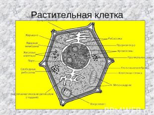 Растительная клетка