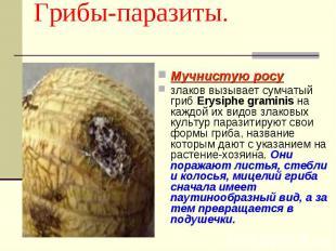 Мучнистую росу злаков вызывает сумчатый гриб Erysiphe graminis на каждой их видо