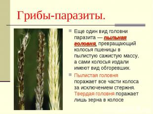 Еще один вид головни паразита — пыльная головня, превращающий колосья пшеницы в