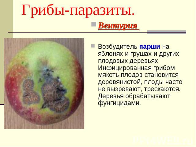 Вентурия Вентурия Возбудитель парши на яблонях и грушах и других плодовых деревьях Инфицированная грибом мякоть плодов становится деревянистой, плоды часто не вызревают, трескаются. Деревья обрабатывают фунгицидами.