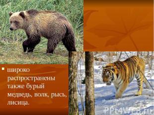 широко распространены также бурый медведь, волк, рысь, лисица. широко распростра