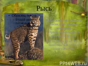Рысь Рысь живёт в таёжных лесах. Это хищное животное. Продолжительность жизни 15