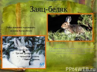 Заяц-беляк Зайца называют «трусишкой», он очень быстро бегает.
