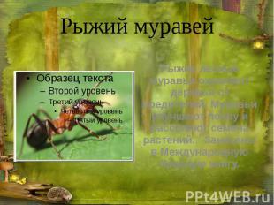 Рыжий муравей Рыжие лесные муравьи охраняют деревья от вредителей. Муравьи улучш