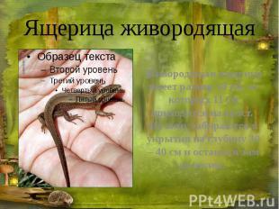 Ящерица живородящая Живородящая ящерица имеет размер 18см, из которых 11&n