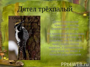 Дятел трёхпалый Дятел трехпалый -красивая, пестро окрашенная птица.