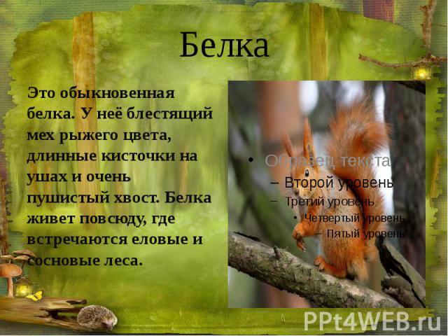Белка Это обыкновенная белка. У неё блестящий мех рыжего цвета, длинные кисточки на ушах и очень пушистый хвост. Белка живет повсюду, где встречаются еловые и сосновые леса.