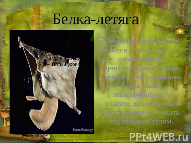 Белка-летяга Обыкновенная летяга селится в лесах. Хвост – самое важное приспособление белки-летяги. С его помощью белка может маневрировать в воздухе, делая крутые виражи, поворачивать под прямым углом.