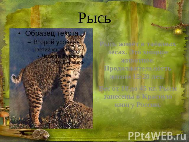 Рысь Рысь живёт в таёжных лесах. Это хищное животное. Продолжительность жизни 15-20 лет. Вес от 18 до 45 кг. Рыси занесены в Красную книгу России.