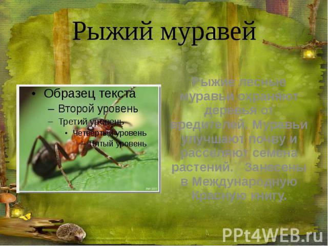 Рыжий муравей Рыжие лесные муравьи охраняют деревья от вредителей. Муравьи улучшают почву и расселяют семена растений. Занесены в Международную Красную книгу.