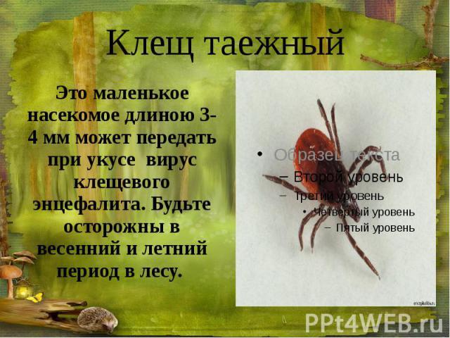 Клещ таежный Это маленькое насекомое длиною 3-4 мм может передать при укусе вирус клещевого энцефалита. Будьте осторожны в весенний и летний период в лесу.