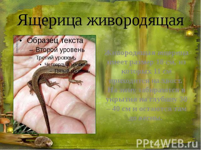 Ящерица живородящая Живородящая ящерица имеет размер 18см, из которых 11см приходится на хвост. На зиму забираются в укрытия на глубину 30 – 40 см и остаются там до весны.