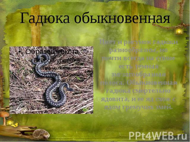 Гадюка обыкновенная Цвет и рисунок гадюки разнообразны, но почти всегда на спине есть темная зигзагообразная полоса. Обыкновенная гадюка смертельно ядовита, и ее яд схож с ядом гремучих змей.
