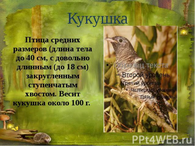 Кукушка Птица средних размеров (длина тела до 40 см, с довольно длинным (до 18 см) закругленным ступенчатым хвостом. Весит кукушка около 100 г.