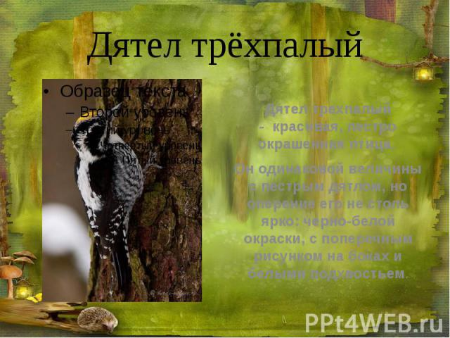 Дятел трёхпалый Дятел трехпалый -красивая, пестро окрашенная птица. Он одинаковой величины с пестрым дятлом, но оперение его не столь ярко: черно-белой окраски, с поперечным рисунком на боках и белыми подхвостьем.