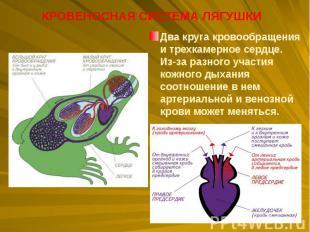 Два круга кровообращения итрехкамерное сердце. Из-за разного участия кожно