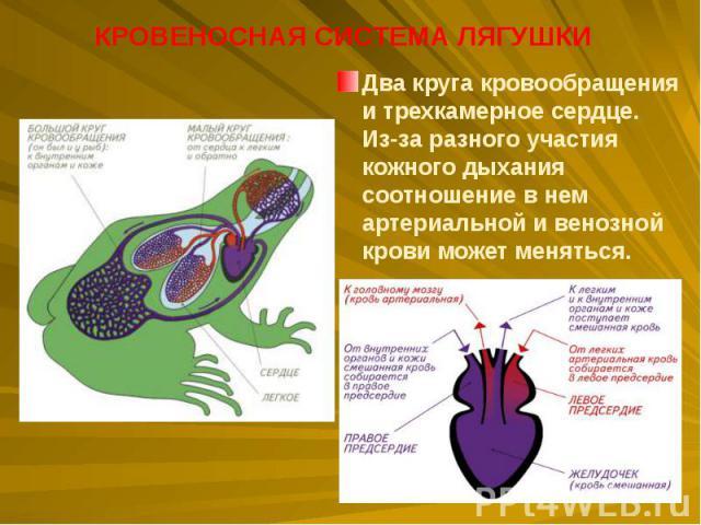 Два круга кровообращения итрехкамерное сердце. Из-за разного участия кожного дыхания соотношение внем артериальной ивенозной крови может меняться. Два круга кровообращения итрехкамерное сердце. Из-за разного участия кожного д…
