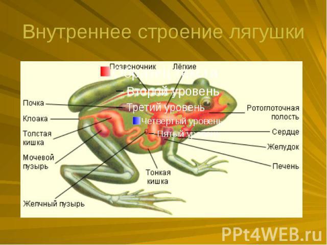 Внутреннее строение лягушки