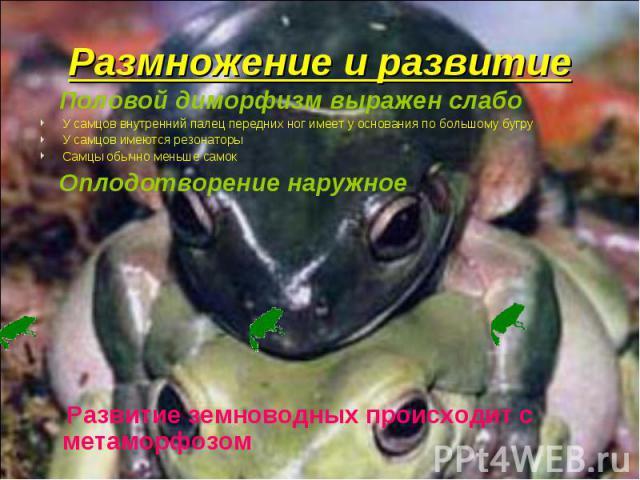 Половой диморфизм выражен слабо Половой диморфизм выражен слабо У самцов внутренний палец передних ног имеет у основания по большому бугру У самцов имеются резонаторы Самцы обычно меньше самок Оплодотворение наружное Развитие земноводных происходит …