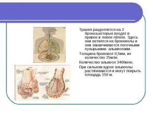 Трахея разделяется на 2 бронха,которые входят в правое и левое лёгкое. Здесь они