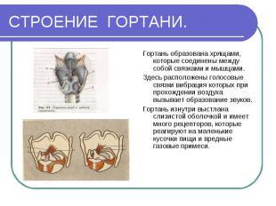 Гортань образована хрящами, которые соединены между собой связками и мышцами. Го