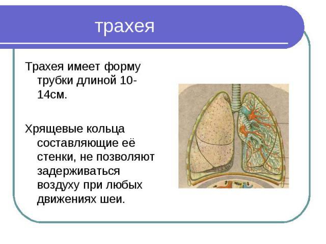 Трахея имеет форму трубки длиной 10-14см. Трахея имеет форму трубки длиной 10-14см. Хрящевые кольца составляющие её стенки, не позволяют задерживаться воздуху при любых движениях шеи.