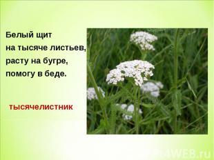 Белый щит Белый щит на тысяче листьев, расту на бугре, помогу в беде.