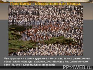 Пингвины - общественные птицы. Они группами и стаями держатся в море, а во время