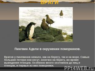 ВРАГИ Пингвин Адели в окружении поморников. Врагов у пингвинов немало, как на бе