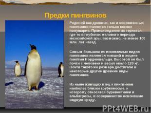 Родиной как древних, так и современных пингвинов является только южное полушарие
